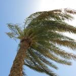 Eine Palme - und eine gute Vorlage für ein Ölbild
